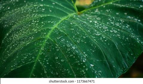 The Colocasia leaf