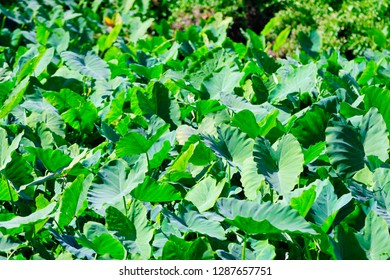 The colocasia leaves in the field.