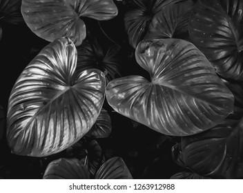colocasia leaves texture black and white tone