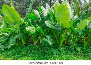 Colocasia plant, Elephant ear, Cocoyam, Dasheen, Eddoe, Japanese taro and fern