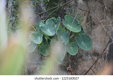 Colocasia Plant growth