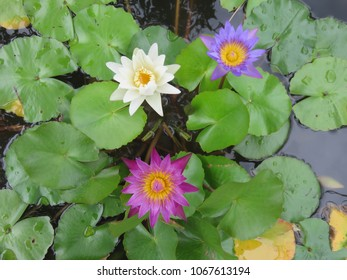 Lotus flower in mud images stock photos vectors shutterstock coloful lotus flowers floating above the muddy waters represent purity and beauty in the religions of mightylinksfo
