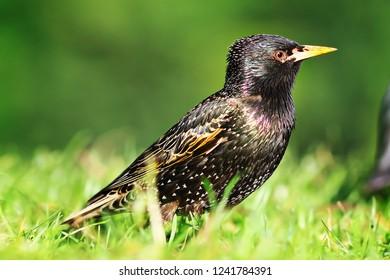cololrful adult grey starling standing on green lawn ( Sturnus vulgaris )
