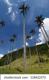Colombia, Cocora valley near Salento has an enchanting landscape of pinies and eucalyptus towered over by the famous wax palms, Colombias national tree. Wax palms