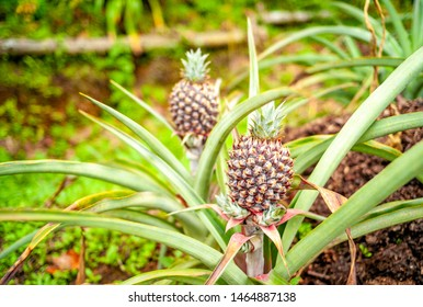 Jardín, Colombia. Pineapples growing in the garden