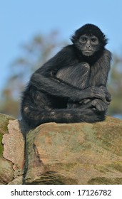 Colombian black spider monkey (Ateles fusciceps robustus) sits on rocky outcropping
