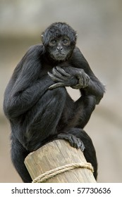 Colombian black spider monkey (Ateles fusciceps robustus) sits on post