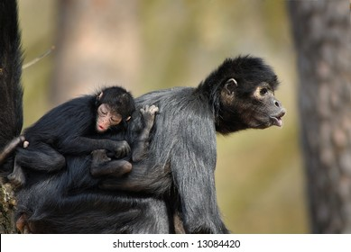Colombian Black Spider Monkey with baby on mothers back (Ateles fusciceps robustus)