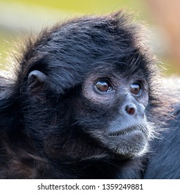 Colombian black spider monkey outdoors