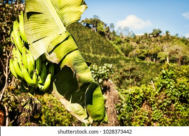 Colombian Coffee images