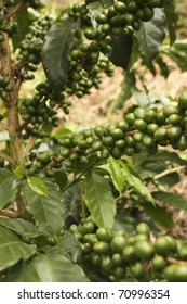 Colombian coffee plantation in the Andean valleys. Quimbaya, Quindio, Colombia. Triangle coffee. Zone of high quality coffee.