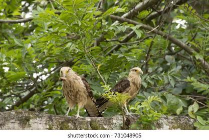 Colombian eagle