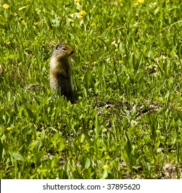 Colombian Ground Squirrel surrounded by Glacier Lilies in Glacier National Park