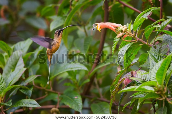 Colombian hummingbird, Tawny-bellied hermit, Phaethornis spermatophores, in its natural environment, mountainous rainforest, feeding on nectar from typical trumpet flower. Rio Blanco Reserve.Colombia.