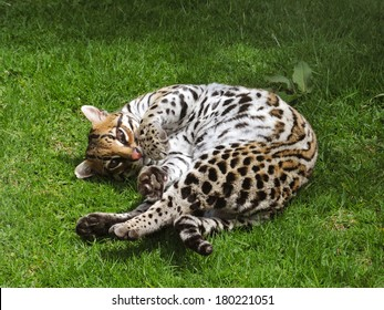 Colombian ocelot in the grass.