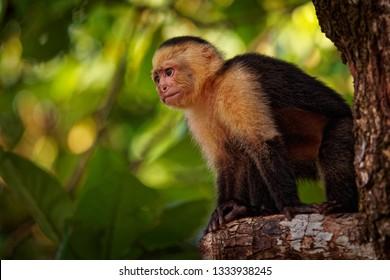 Colombian white-faced capuchin (Cebus capucinus), Colombian white-headed capuchin or Colombian white-throated capuchin, New World monkey of the family Cebidae, subfamily Cebinae