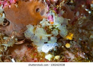 Colonial Ascidian Sea Squirt