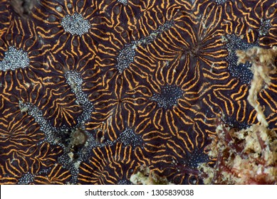 Colonial Tropical Ascidian