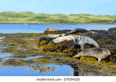Colonies of Seals at Dunvegan Castle, Scotland