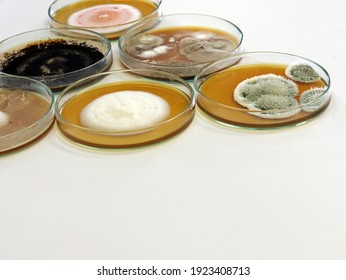 Colonies of yeast, mould and fungal testing fungi (genus Penicillium and Aspergillus) from air spores contamination environmental in air room, Malt Extract Agar (MEA) in petri dish for growing fungus.