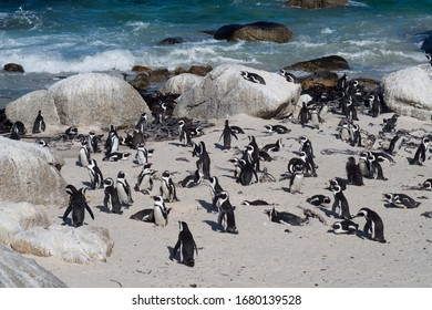A colony of African Jackass Penguins also known as Cape penguins having beach fun at Boulders Beach in Cape town ,South Africa.
