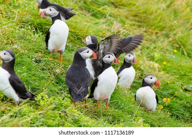 The colony of Atlantic puffins in Heimaey Iceland