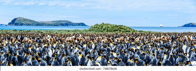 Colony of  baby and adult king penguins , ocean background, South Georgia Island , Antarctic, wide format
