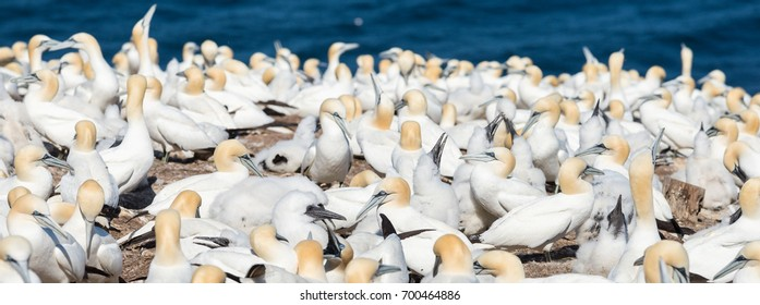 Colony of breeding northern gannets with young chicks