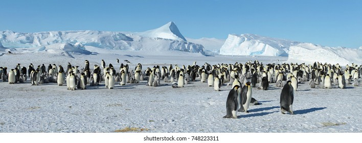 A colony of Emperor penguins(aptenodytes forsteri) is the southern ocean,the Davis sea