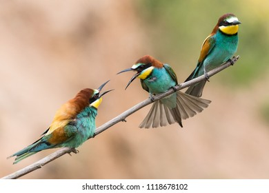 Colony of european bee-eaters, Merops apiaster, siting on a branch in germany
