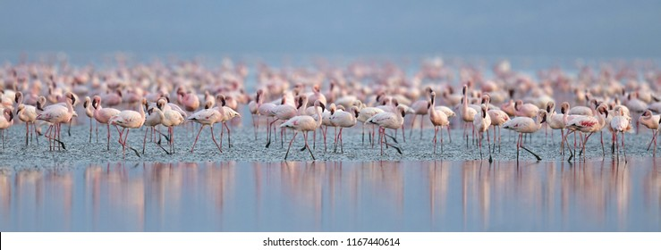 Colony of Flamingos on the Natron lake. Lesser Flamingo Scientific name: Phoenicoparrus minor. Tanzania Africa.