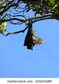 colony of Flying foxes or fruit bats in Queensland Australia