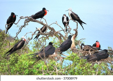 Colony Fregata magnificens, Male magnificent frigate birds, with selected nesting sites and with throat pouch inflated. Isla Plata, Ecuador.