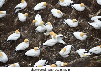 Colony of gannets gathered for breeding season at Muriwai, New Zealand
