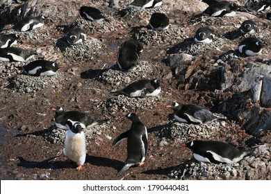 A colony of Gentoo penguin (Pygoscelis papua) nesting in Neko Harbour, Andvord Bay, Antarctic Peninsula.