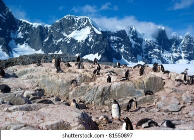 Colony of Gentoo Penguins in Port Lockroy, Antarctica