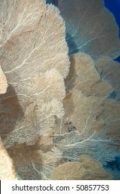 A Colony of Giant sea fans (Annella mollis) Red Sea, Egypt