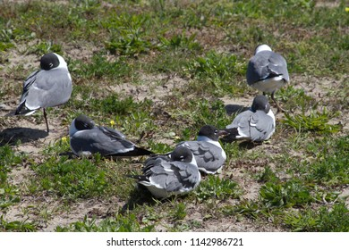 A colony of gray, white and black seagulls sleep together in the grass on the coast of North Carolina