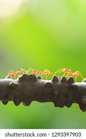 A colony of Green Ants having a conversation in a vine, bright transparent of ants, bokeh and natural green blur backgrounds. Selective focus. Social concept.