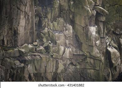 Colony of guillemot murre birds nesting on cliff face