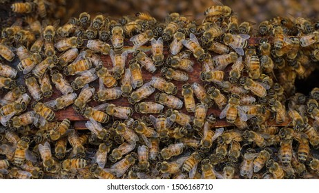 a colony of honey bee Apis mellifera in Bee hives