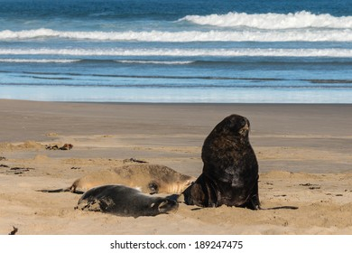 colony of Hooker's sea lions resting on beach
