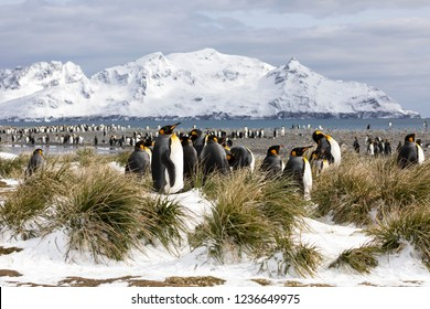 A colony of king penguins on Salisbury Plain on South Georgia in the Antarctic