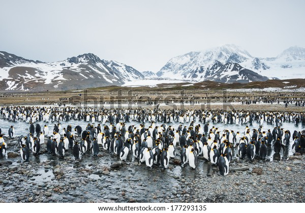 Colony of king penguins in South Georgia, Antarctica