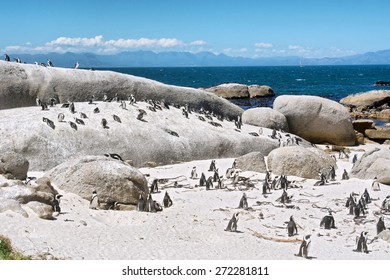 Colony of little penguins on beach. Shot in the Boulders Beach Nature Reserve, near Cape Town, Western Cape, South Africa.