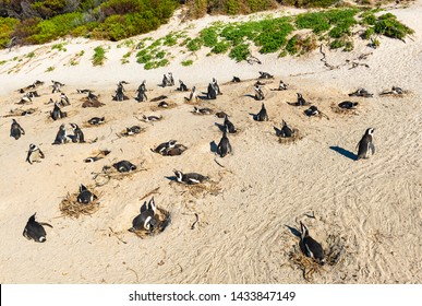 A colony of nesting black-footed penguins (Spheniscus demersus) also known as jackass or African penguin in a sand dune by Boulder Beach near Cape Town by the Indian Ocean, South Africa.