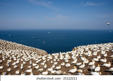 Colony of Northern Gannets sunbathing off Bonaventure Island.