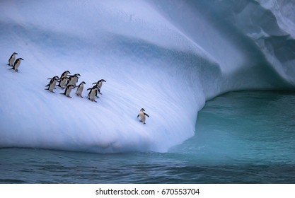The colony of penguins approaches the water. One penguin stands on the slope of the iceberg near the water. Andreev.