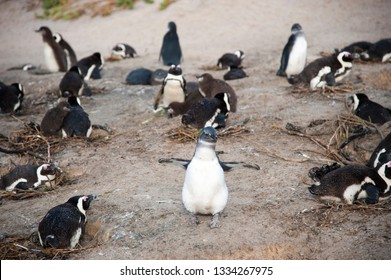 Colony of pinguins