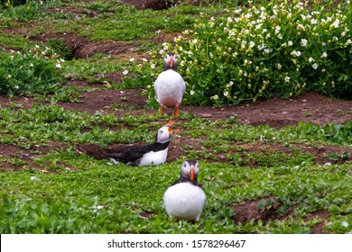 A colony of puffins, with brightly coloured beaks,  also knows as puffinry, a circus, a burrow, a gathering, or an improbability, in the grass in Farne Islands